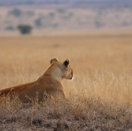 Lioness on watch