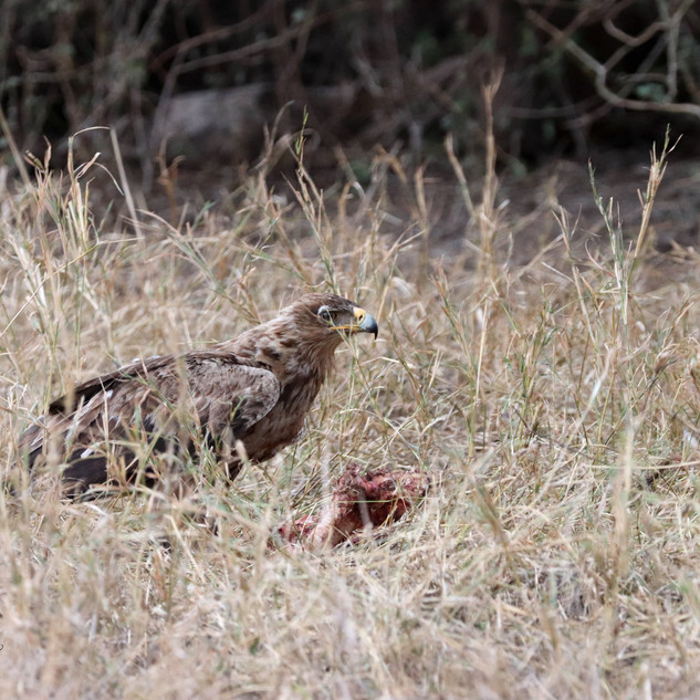 Tawny eagle and lunch
