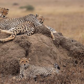 Cheetah nap time