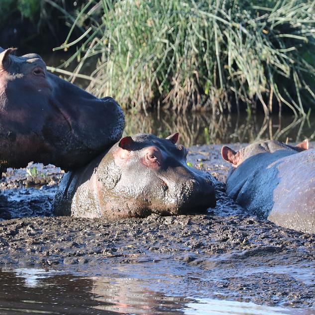 Hippos loving the mud