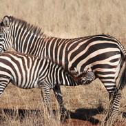 Zebra lunch, Ngorogoro