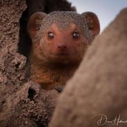 Dwarf mongoose, Ngorogoro