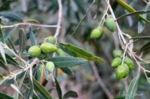 Olives on tree, Preveza