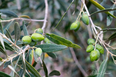 Olives on tree, Preveza