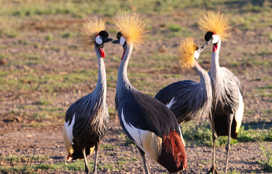 Grey crown cranes