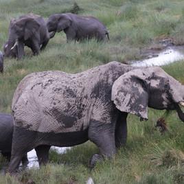 Elephants at the marsh