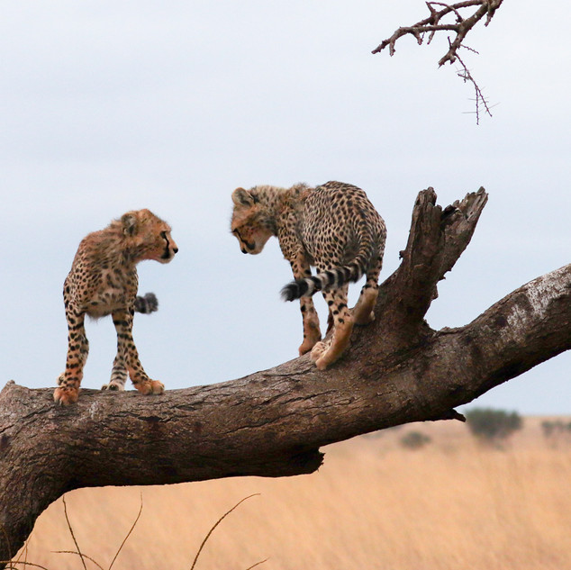 Cheetah cubs playing in a tree