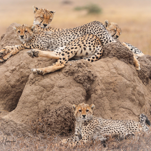 Cheetah family hanging out
