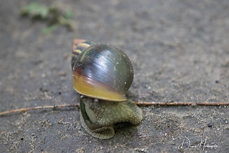 Zanzibar giant_ land snail