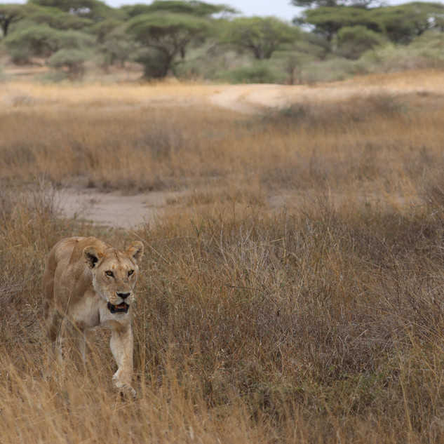 Lioness walking out of the marsh