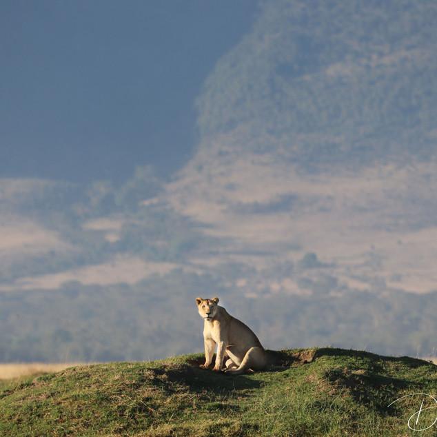 Lioness with Ngorogoro crater in background, Ngorogoro
