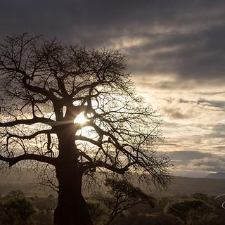 Boabob Sunrise, Tarangire