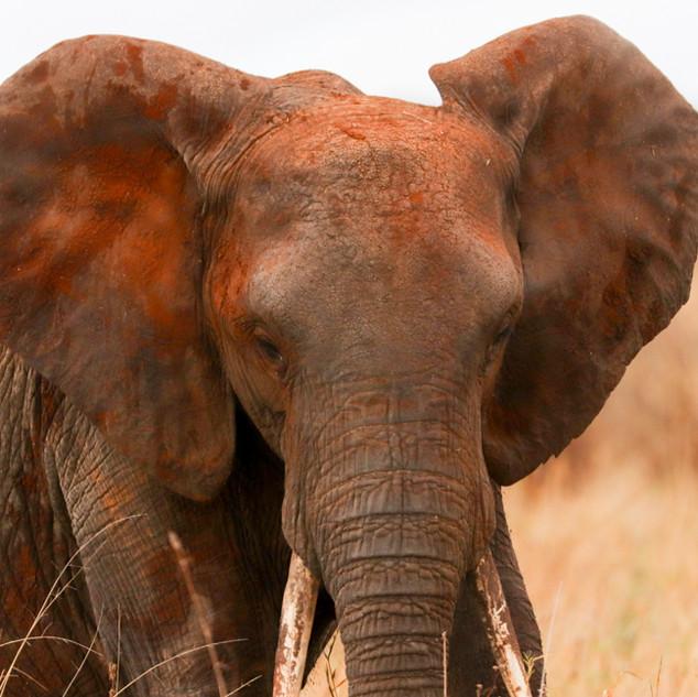 Tarangire elephanat