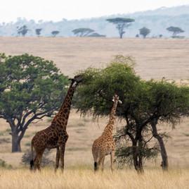 Giraffes and Acacia tree