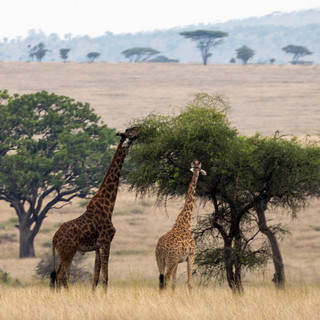 Giraffes and Acacia tree
