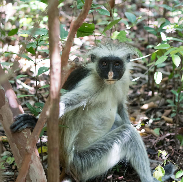 Red colobus monkey, Zanzibar
