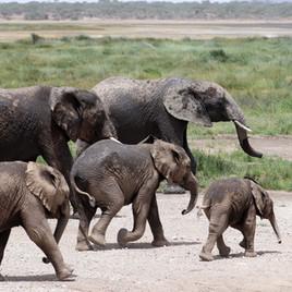 Elephant family at the marsh