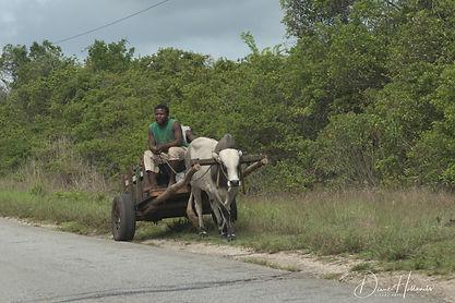 Zanzibar. Cattle trailer