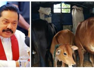 Sri Lanka Bans Cow Slaughter, But Has Yet to Pass Animal Welfare Bill