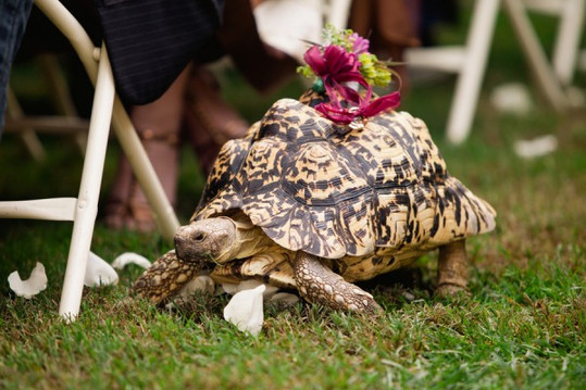pet-tortoise-ring-bearer-600x400.jpg