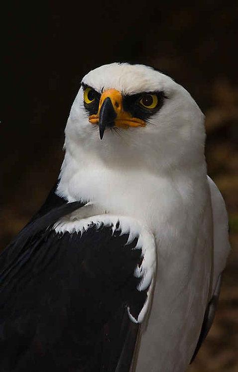 White Hawks ELITE