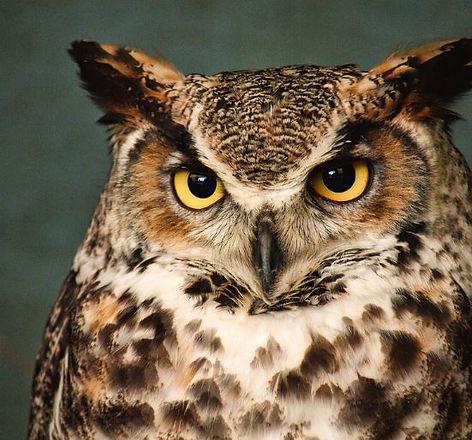 owl real.JPG