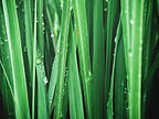 Close up of green vetiver grass.jpg