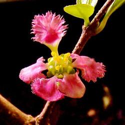 Barbados Cherry Flower #barbadoscherry #acerola #flower #florida #tampa #tampabay #tropical #tampagr
