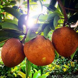 Sapodillas in the grove! We'll start harvesting in a week or two #sapodilla #chiku #naseberry #nispe