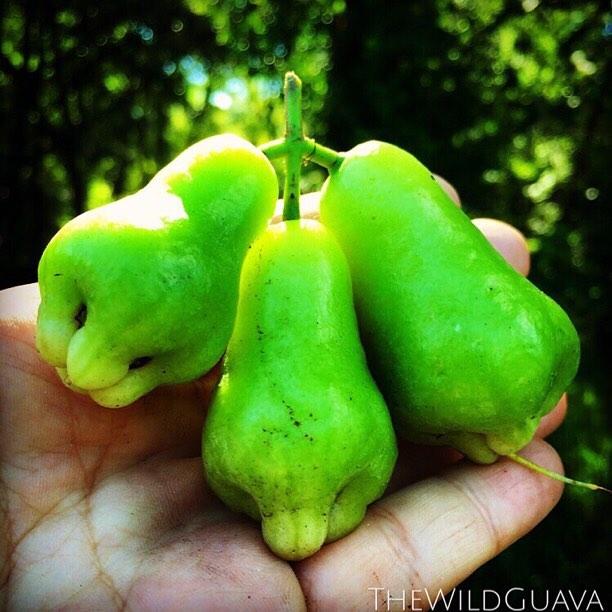 Green Wax Jambu's! #waxjambu #rosewaterapple #syzygium #chompoo #green #thewildguava #tropicalfruit