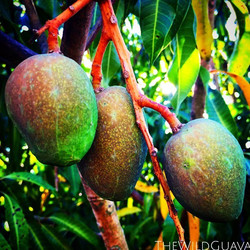 Baby Glenn Mangoes! Another month or so of bathing in the island sunshine and these beauties will be