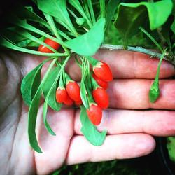 Goji berries! Aka wolf berries #goji #gojiberry #wolfberry #superfood #antioxidants #freshfruit #rea