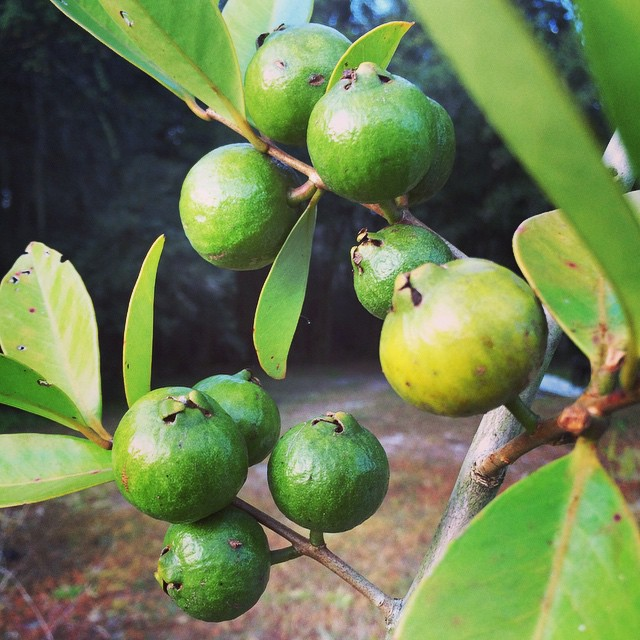 Baby Strawberry Cattley Guavas #fresh #fruit #florida #tree #tampa #thewildguava #growfood #greenthu