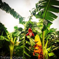 Kandarian Banana Bunch! Aka #giantafricanbanana This particular banana takes almost a year longer th