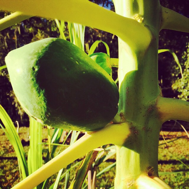 Baby Papaya #papaya #fruit #green #growfood #homegrown #healthy #cleaneating #florida #tampa #tasty