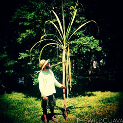 Giant Red Sugarcane! Sean's about 6'2 for scale #sugarcane #giantsugarcane #redsugarcane #perspectiv