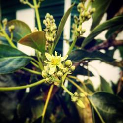 #avocado #blooming #spring