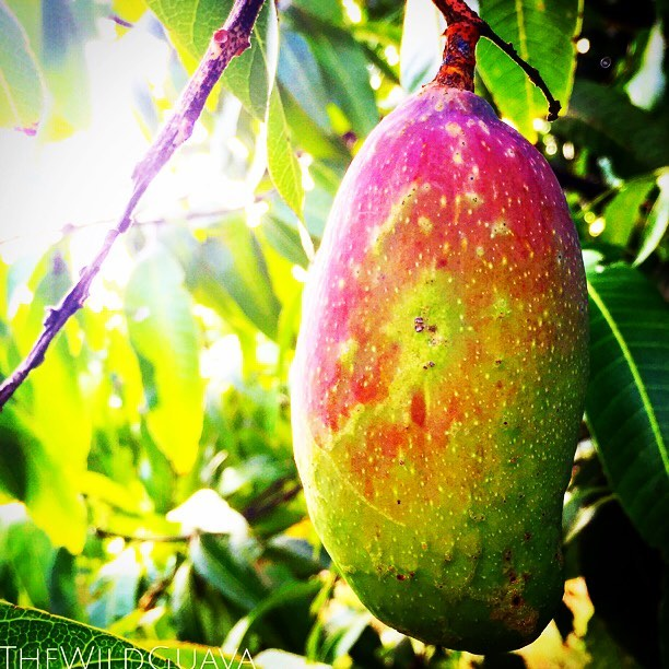 Baby #valenciapride mango! These are our seconds harvest after the Glenn, look for them in late July