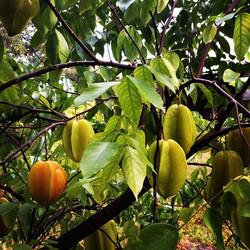 Lara Starfruit loaded! #carambola #fruit #foodie #florida #freshfood #fruitarian #grow #green #garde
