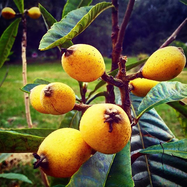 Baby loquats! These little guys will spend the next week plumping up and turning a deeper yellow, th