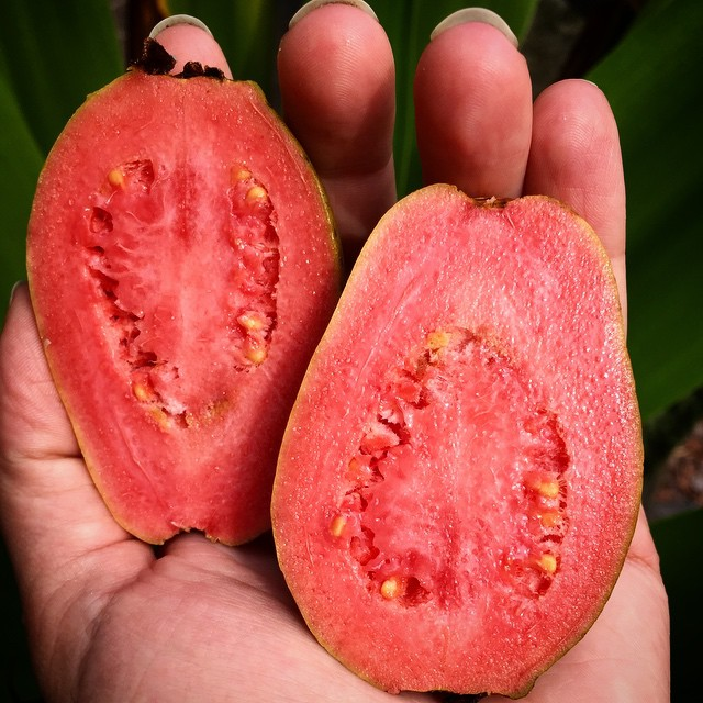 Ruby Supreme Guava, first off this particular tree, next crop should be larger! #ruby #rubysupreme #