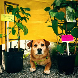 At The Corey Avenue Sunday Market in #stpetebeach today with the #cutest co-worker ever #spud #farmd