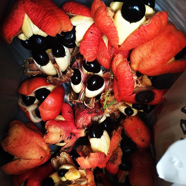 Ackee after yawning and being hand harvested #Ackee #akee #tropicalfruit #rarefruit #harvest #florid