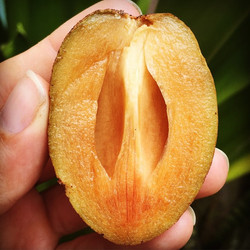 Brown sugar pear aka Sapodilla, chiku, nispero, picked in our grove yesterday, they'll be for sale S