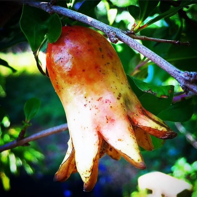 Pomegranate fruit setting at the base of the bloom #pomegranate #fruitset #futurefruit #botanical #t