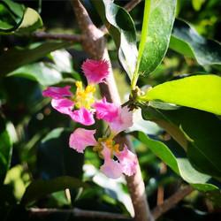 Acerola flowers! Aka Barbados Cherry