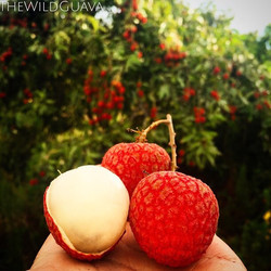 Introducing the 'Sweet Cliff' lychee! This little beauty has a smooth skin and an incredible, true l