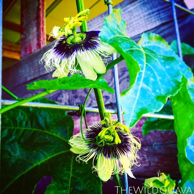 Passion Fruit flowering in the shade of the barn #passionfruit #passionflower #bluesandpurples #natu