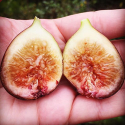 Inside a ripe LSU Purple #fig We'll have fig trees and lots of other fruit bearing trees for sale th