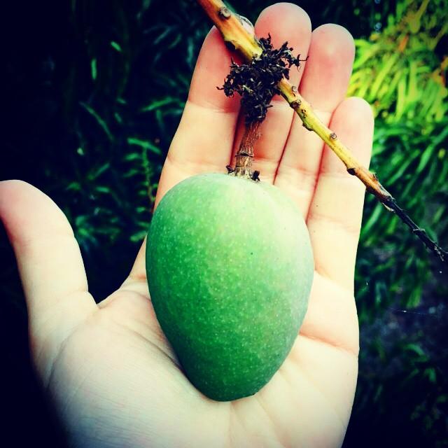 Small Keitt mango, the grove is already setting an early crop, very exciting! #mango #mangos #mangoe